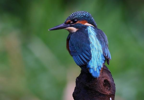 Kingfisher Alcedo atthis by LukeParkinson