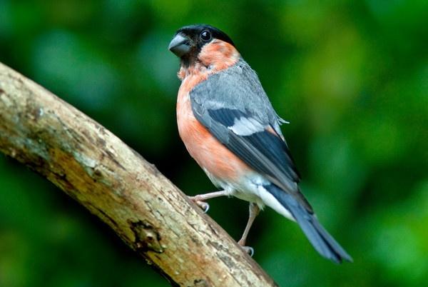 Bullfinch by kieranmccay