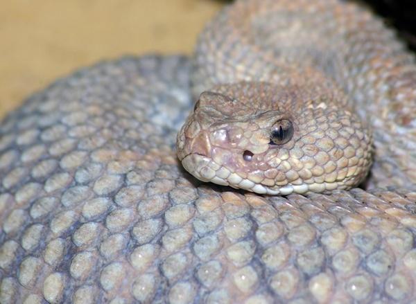 Rattlesnake by bigredtim