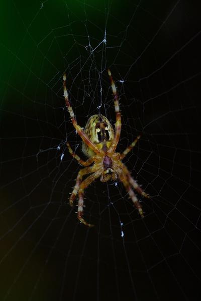 garden spider by mojave79