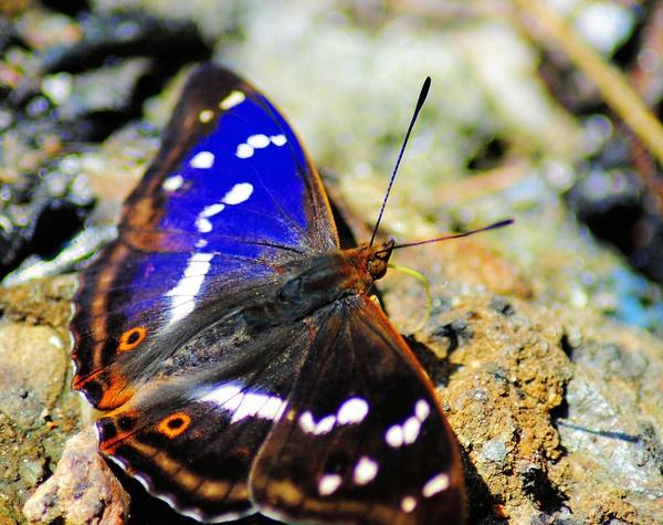 Blue wings - Apatura Iris - Purple Emperor by gabriel_flr