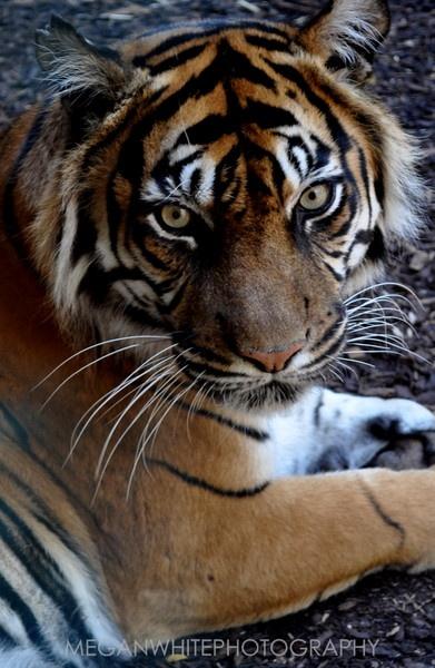 Tigerrrrr! by Meganwhitephotography
