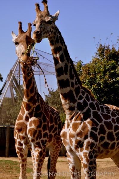 Giraffe\'s! by Meganwhitephotography