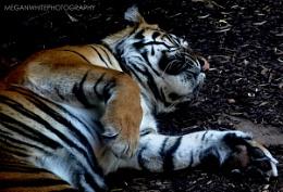 Playful Tiger!