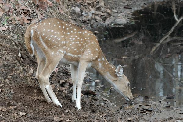 Thirsty Deer by nishchal
