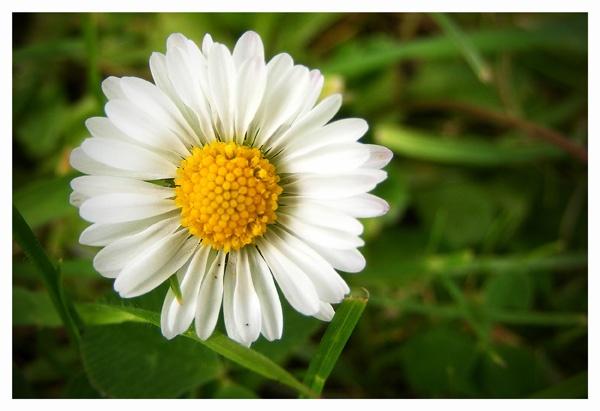 Daisy by THE_HIGHLANDER96