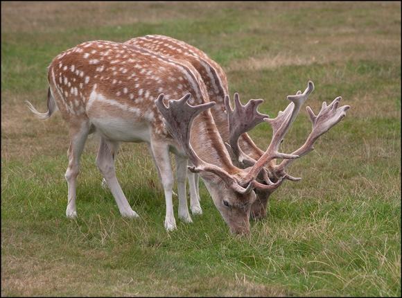 Fallow Deer Pair by david hunt