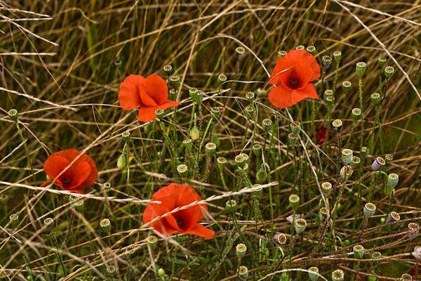 Poppies In a Field by JJGEE