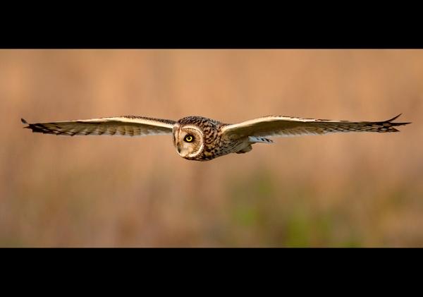 Short-eared owl by John_Wannop