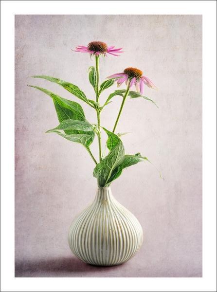 Echinacea II by chase