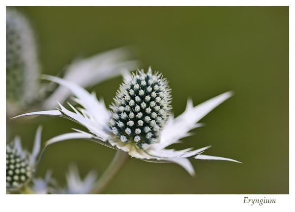 Eryngium by Sue_R