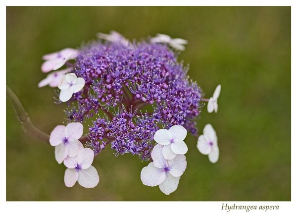 Hydrangea aspera by Sue_R