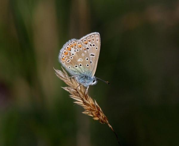 Common Blue by GlaSsDraGon