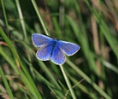 Common Blue 2 by GlaSsDraGon