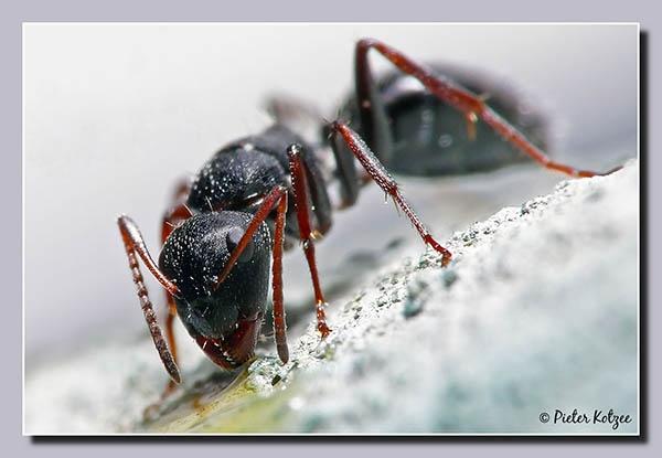 Ant by Pieter_Kotzee