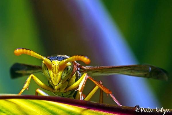 Wasp by Pieter_Kotzee