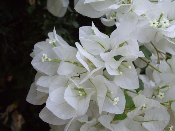 White Blossom by Bat_Babes