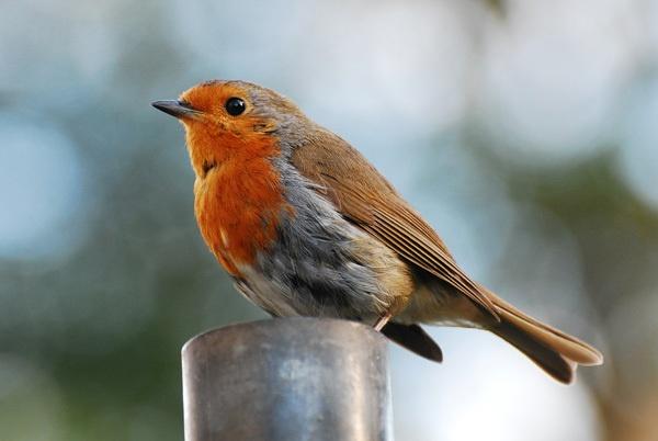 Robin by CheethamD