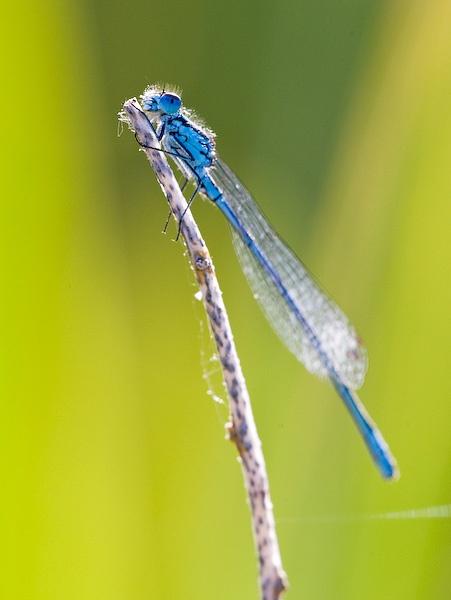 Common Blue Damselfly Backlight by alecs