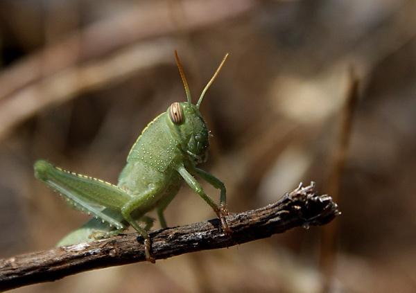 Common-Green-Grasshopper by jocneilson