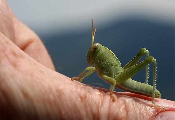 Common-Field-Grasshopper by jocneilson