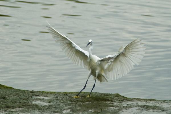Little Egret by Phatboy