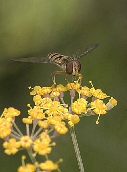 Hover Fly by mavericke