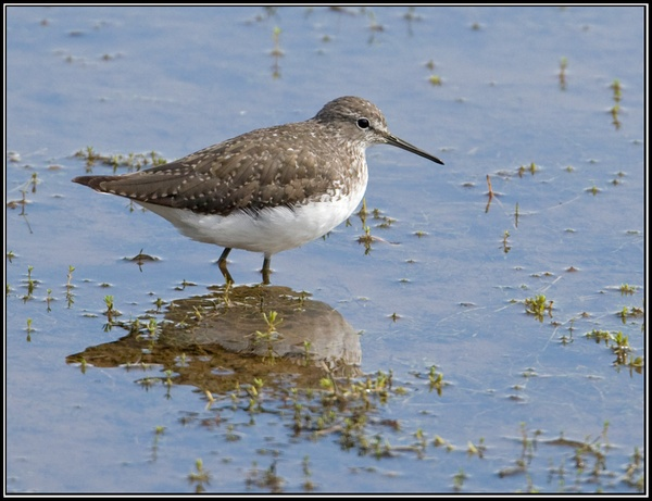 Green Sandpiper by Dave_L
