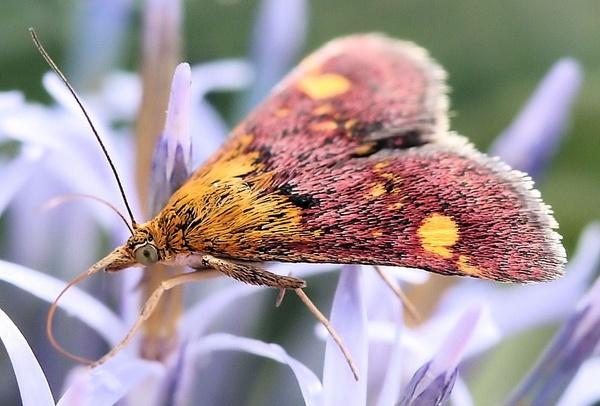 mint moth by kraziteach