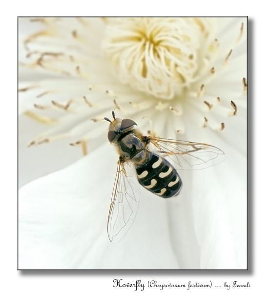 Hoverfly (Scaeva Pyastri) by teocali