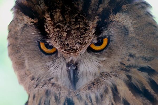 Eagle Owl by SiSheff