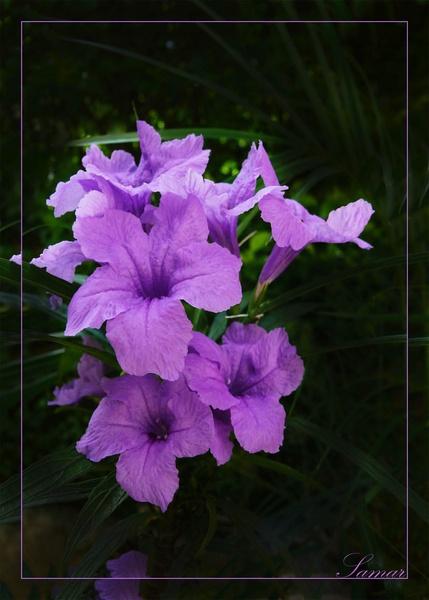 Violet Roholia by samarmishra