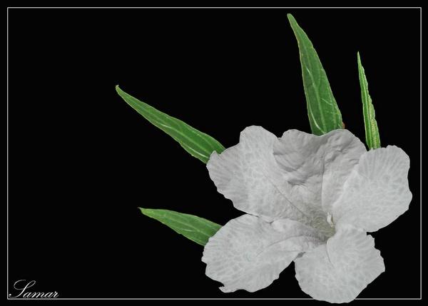 White Rohelia by samarmishra