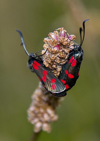Burnetts Moth by DonMc