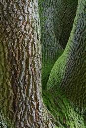 Ullswater Oak