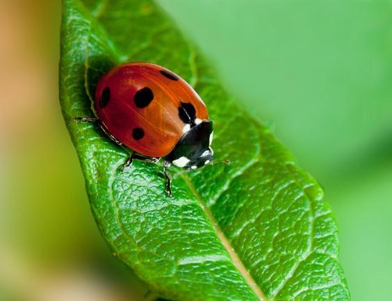 Ladybug edited in photoshop by Dado