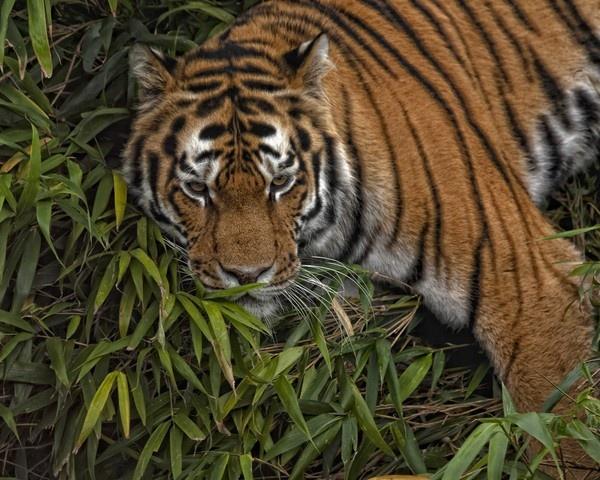 Tiger by ronan1