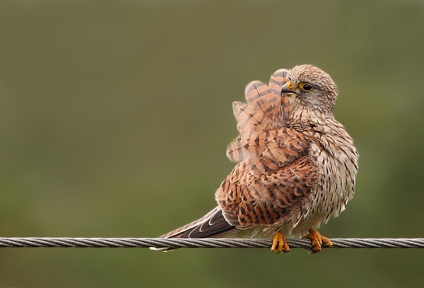 Female Kestrel by Karen_Summers
