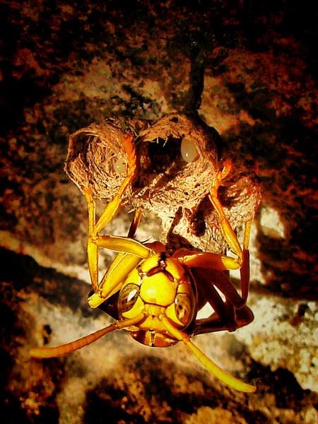 Wasp by Ananda