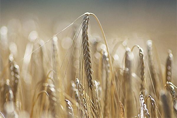 Barley Mow by ctxuk