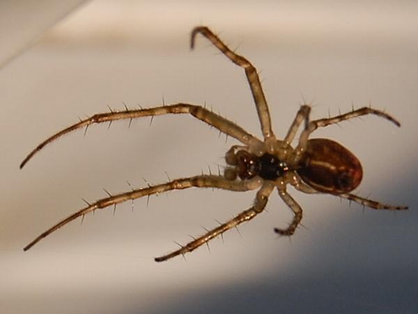 Spider by Bearspirit29