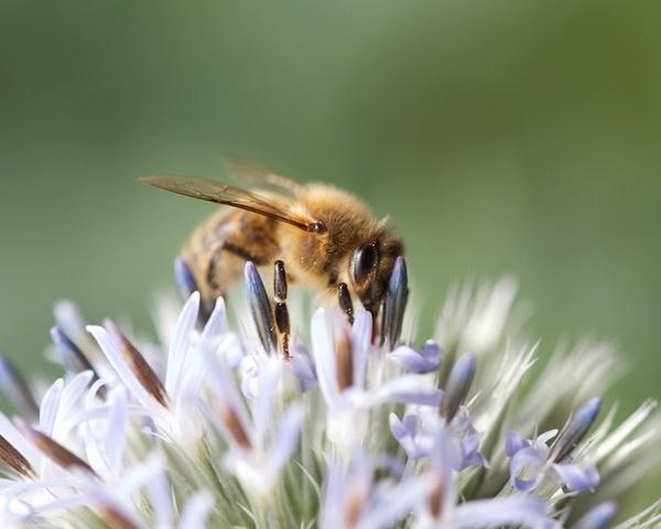 Macro Bee by DarrenSmith