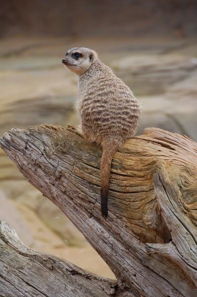 Meerkat by nik50