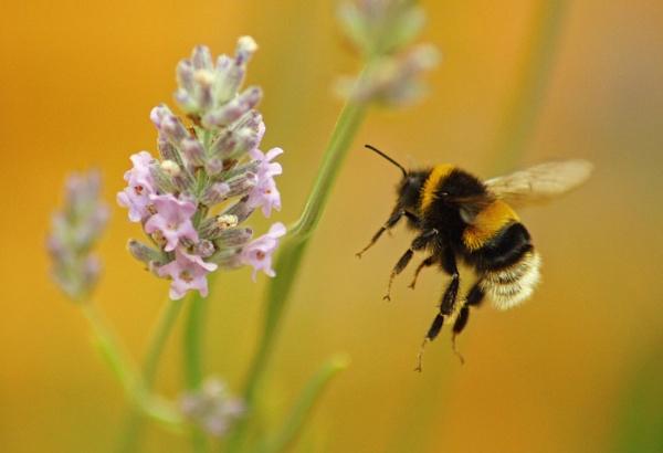 Bee In Flight by OliPackwood