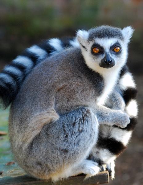 Lemur by Harpic