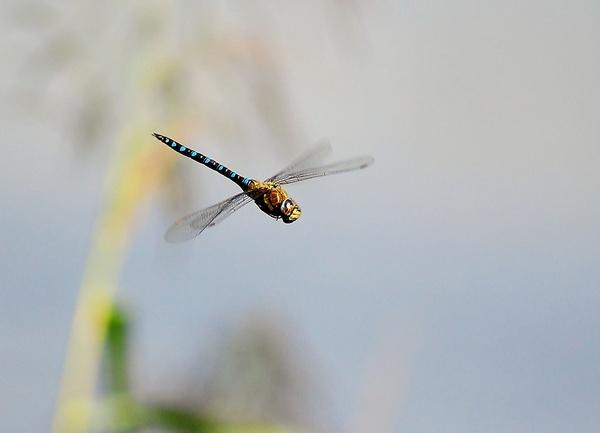 Flying damselfly by gabriel_flr