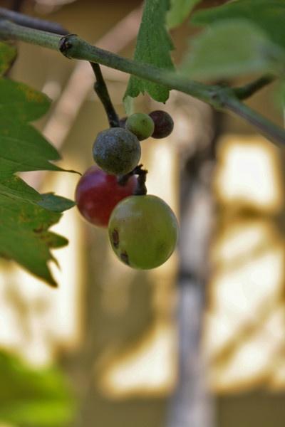 The grape by deniirawanthamrin