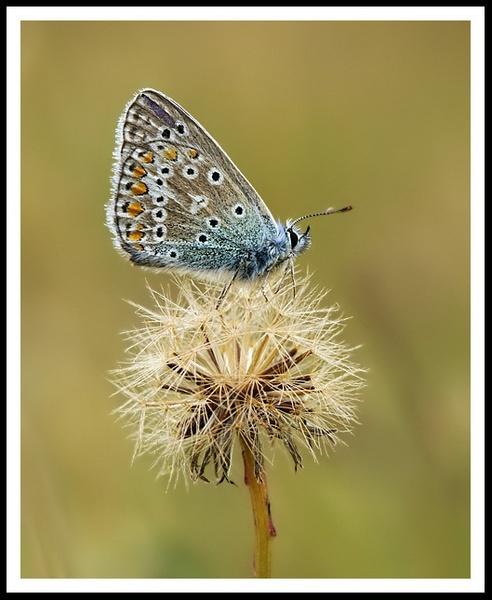 Common Blue by Piluca_Alvarez