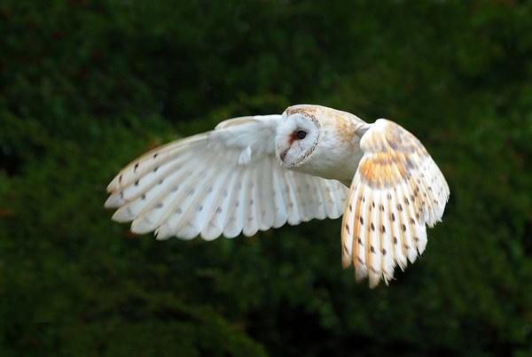 BARN OWL by schumi