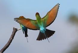 ''Rainbow Bee-eaters''
